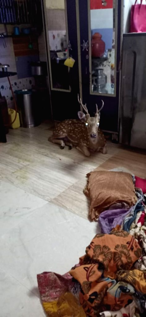 A spotted deer escaped a leopard chase and fell through the roof of a chawl in Hanuman Tekdi slums, near Powai.
