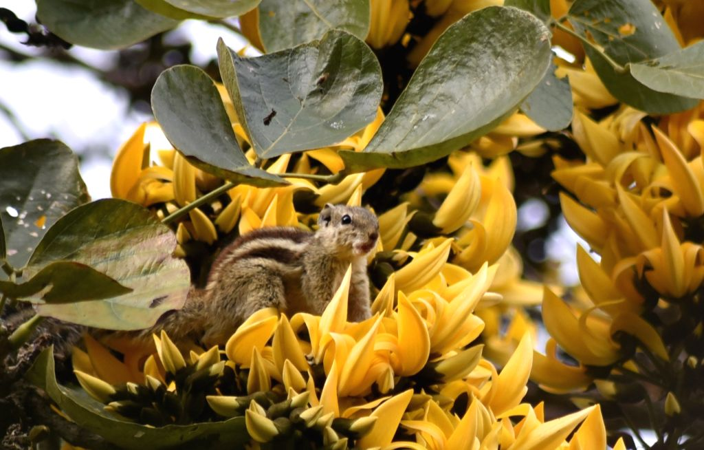 A squirrel on a Plash tree  - Butea monosperma - in Santiniketan on March 1, 2019.