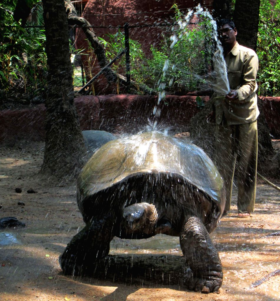 A staff of Nehru Zoological Park gives a bath to a tortoise on a hot day at the zoo in Hyderabad on May 2, 2014.