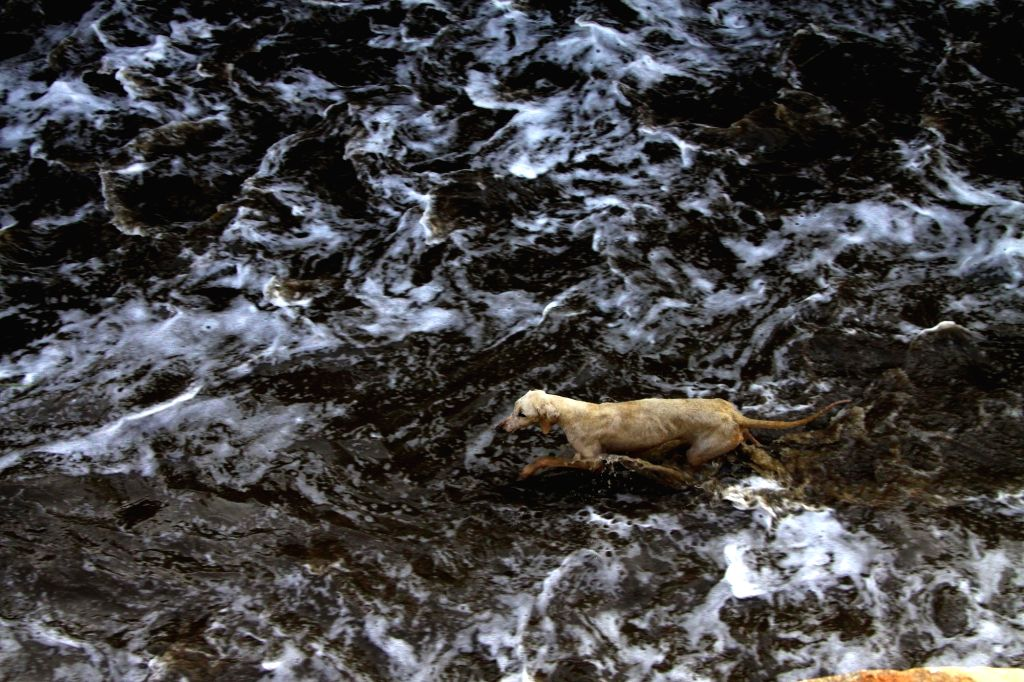 A stray dog stuck in the flood water after rains lashed in Bengaluru on Sept 10, 2017.