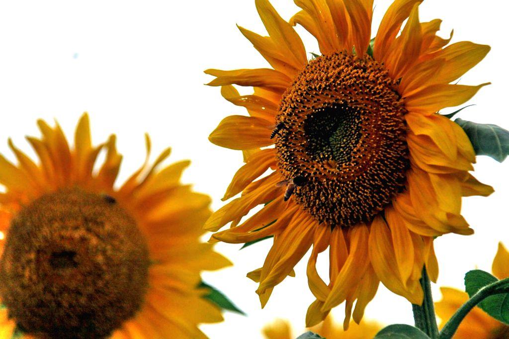 A sunflower  at Gandhi Krishi Vignayana Kendra (GKVK campus) in Bengaluru, on Nov 19, 2015.