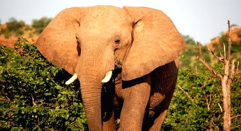 A tale of the African Elephants.