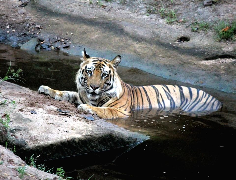 A tiger cools-off in a water pit in forests of Madhya Pradesh. (Photo: Kushagra Dixit/IANS) - Kushagra Dixit