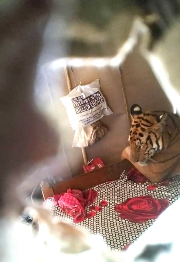 A tiger seen resting on a bed in a house near Bagori range of Kaziranga National Park.