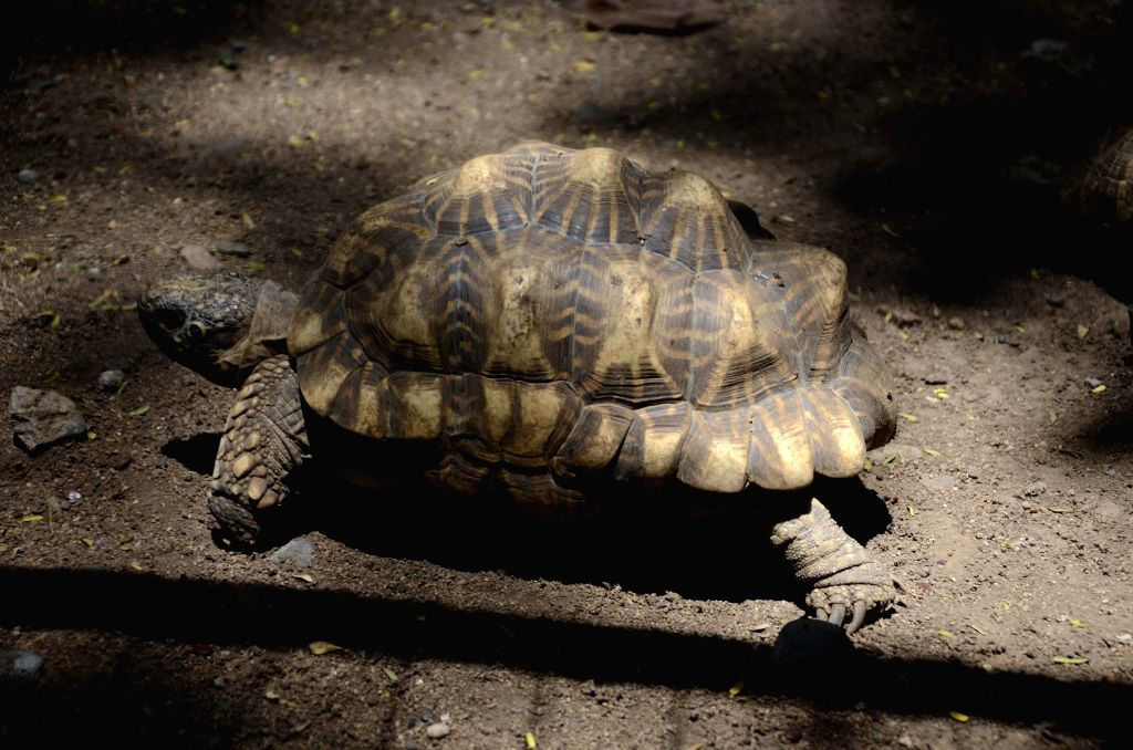 A tortoise at Rajiv Gandhi Zoological Park in Pune on May 12, 2014.