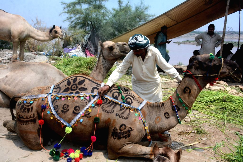 A trader decorates his camel to attract customers at a cattle market ahead of Eid al-Adha festival in Lahore, Pakistan, July 30, 2020.