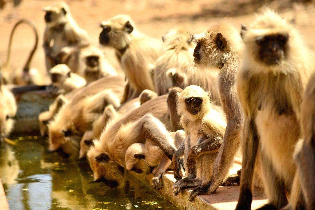 A troop of Grey Langurs drink water from a pond on a hot sunny day in Ajmer, Rajasthan on April 5, 2019.