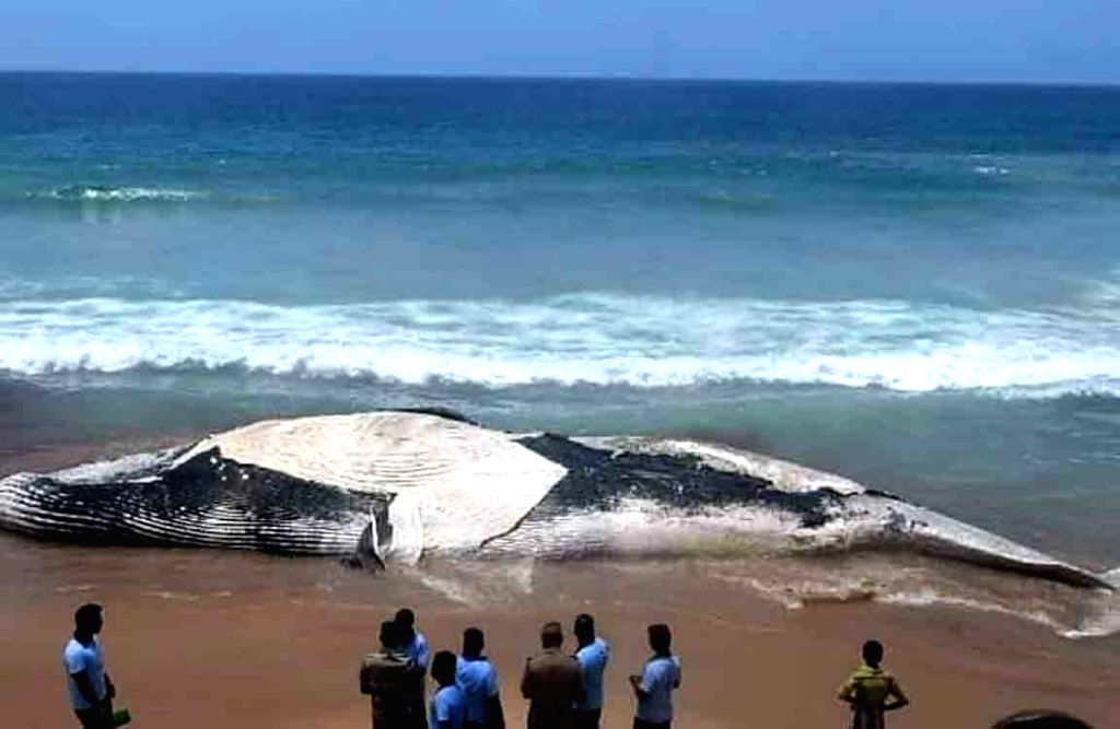 A twenty metre-long blue whale was found washed ashore dead at Tamil Nadu's Valinokkam Beach in Ramanathapuram district on Aug 30, 2020. Forest officials who carried out the ...