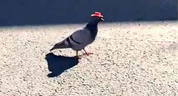 A video clipping of several pigeons wearing tiny cowboy hats in a Las Vegas parking lot has been amusing Twitterati. The clipping posted by a media house has received 308.9K views, with 1K retweets and 2.8K likes.