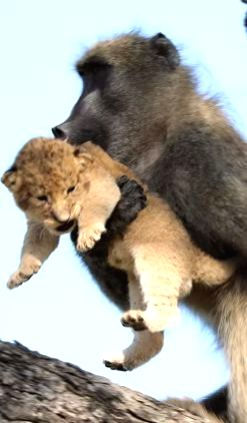 """A video of a baboon taking a cub on top of tree and starts grooming it has been going viral on the Internet. The video was shared by YouTube page, Kruger Sightings with the caption """"Watch the incredible and never-before-seen moment a male baboon stol"""
