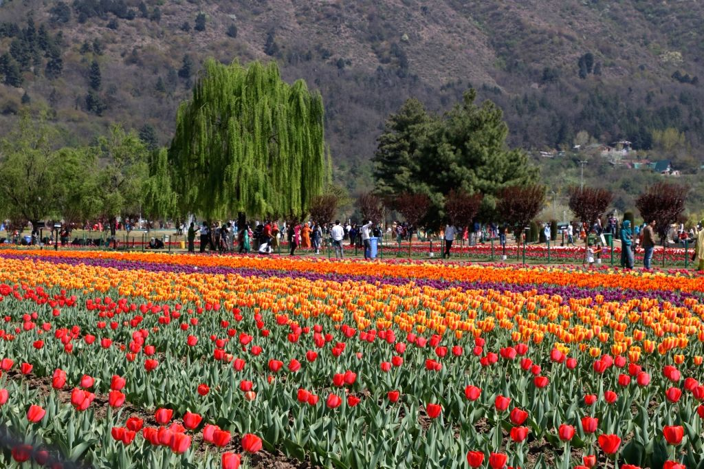 A view of fully bloomed Tulip flowers in Srinagar, on April 14, 2019.