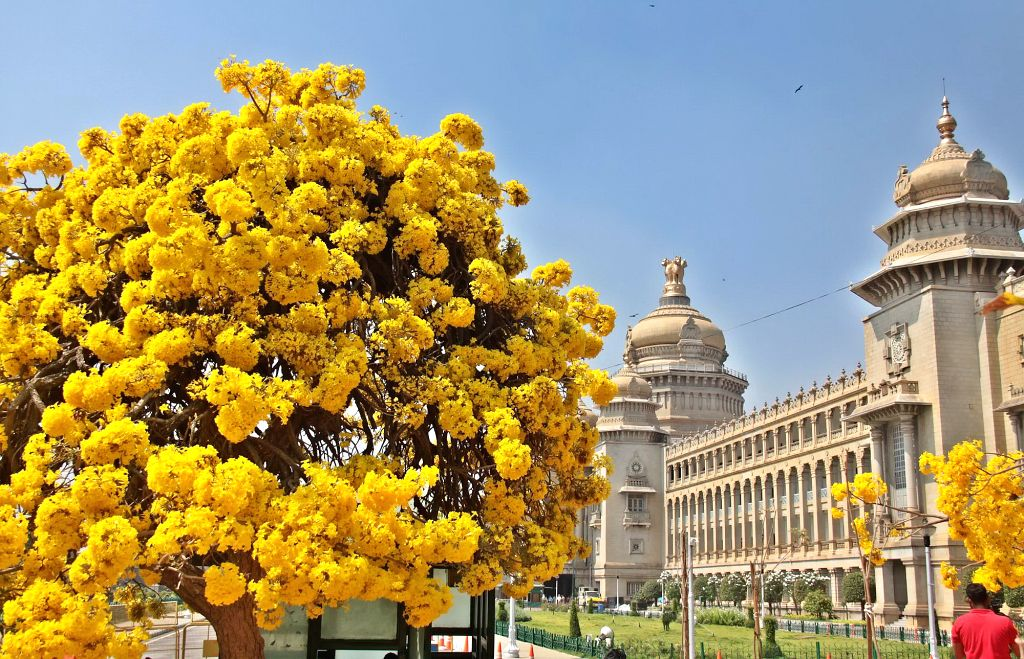 A view of fully bloomed yellow Tabebuia flower at Vidhana Soudha, in Bengaluru, on March 6, 2019.