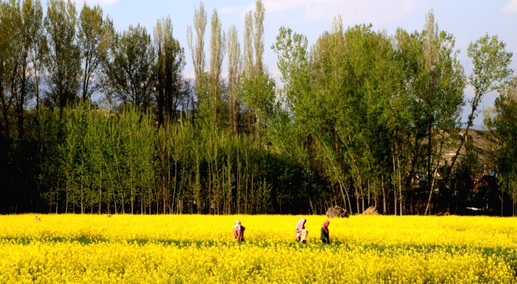 A view of mustard fields in Pampore of Jammu and Kashmir on April 16, 2017.