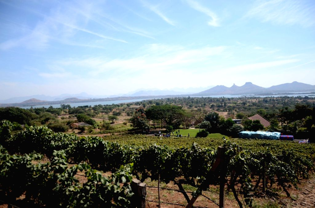 A view of the Grover Zampa vineyard at Sanjegaon Village in Nasik on Feb 10, 2018.