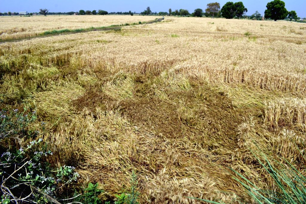 A view of the wheat crops damaged in unseasonal rains and dust storm, in Mathura on April 7, 2018.