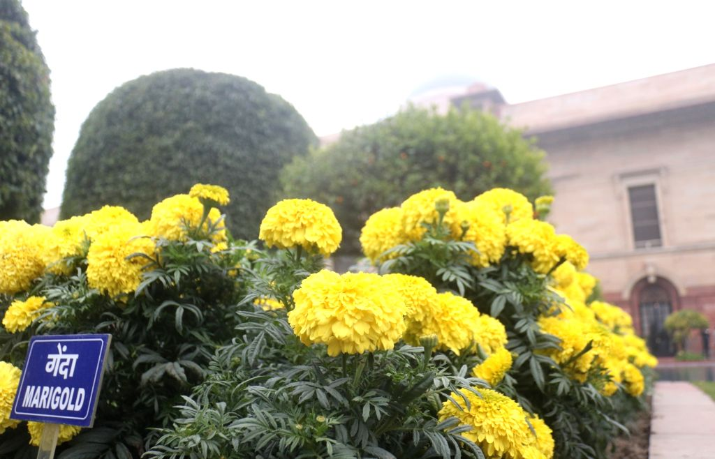 A view of  yellow marigold flowers at the Mughal Gardens of Rashtrapati Bhavan during its press preview in New Delhi, on Feb 2, 2019.