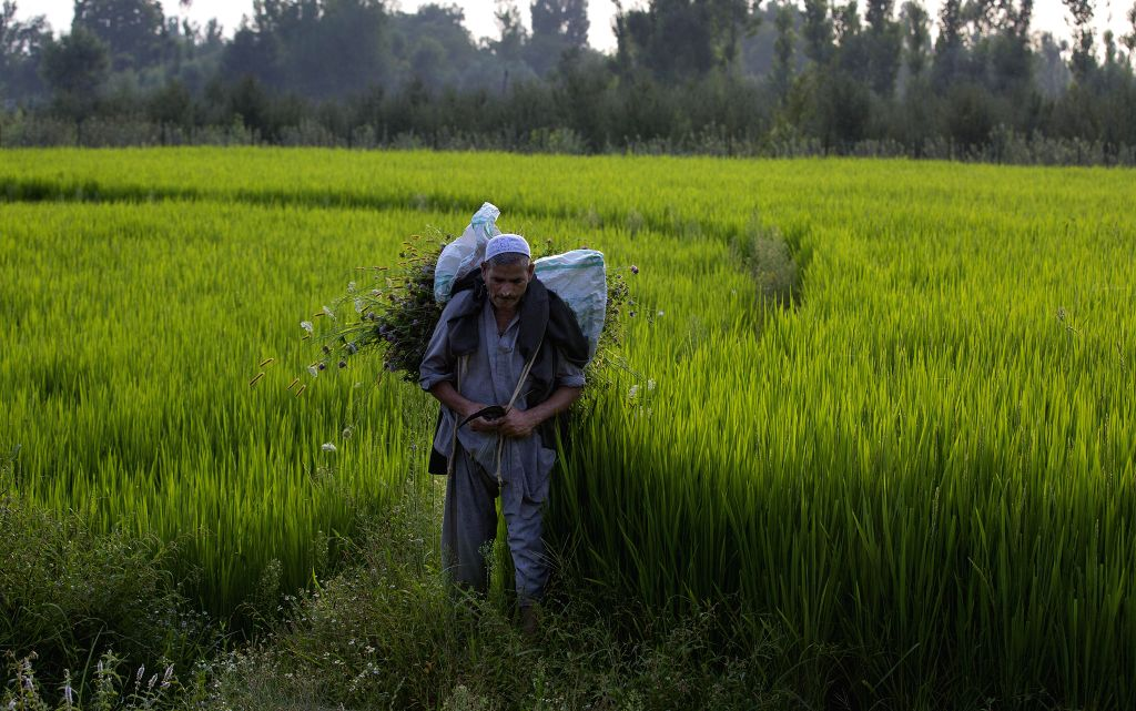 A villager carries weed removed from a paddy field in a village in Anantnag, south of Srinagar city, the summer capital of Indian-controlled Kashmir, Aug. 7, 2020.