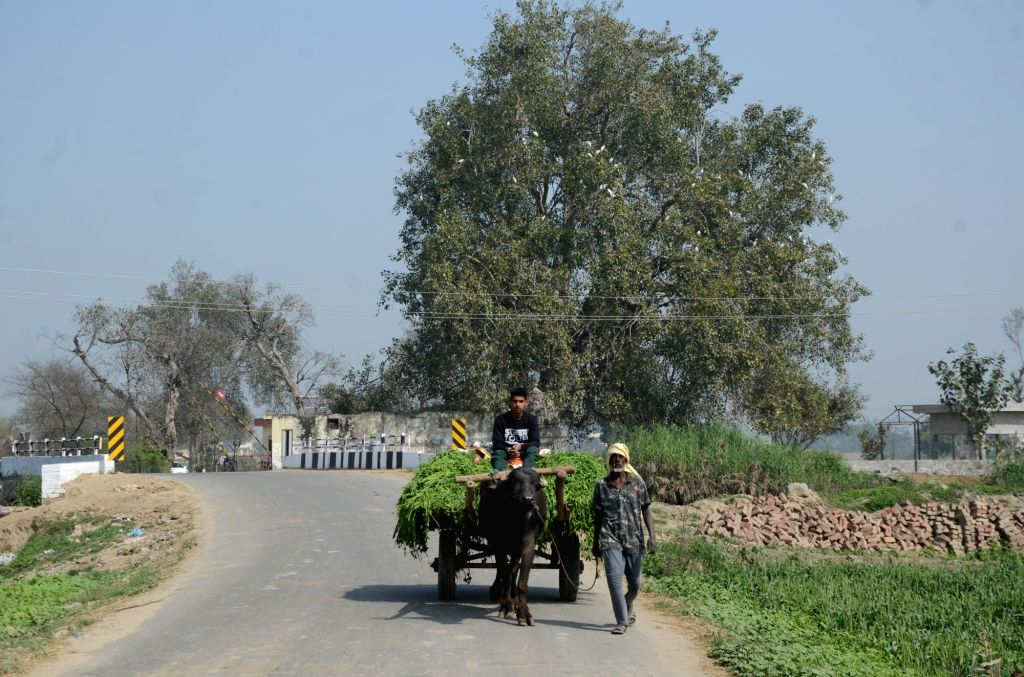 A villager ride a bullock cart as it passes through the village farms on the outskirt of Amritsar on Monday 01st March,2021.