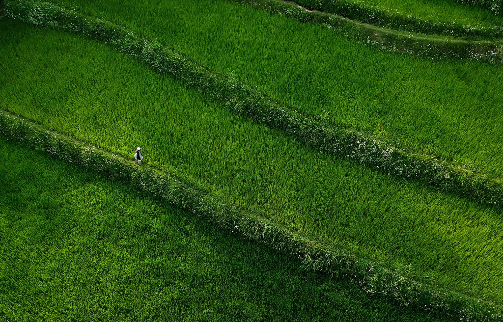 A villager walks in a scenic paddy field in a village in Anantnag, south of Srinagar city, the summer capital of Indian-controlled Kashmir, Aug. 7, 2020.