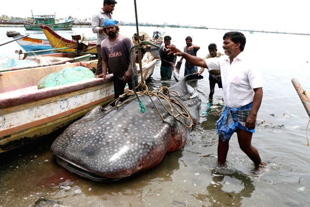 A whale shark that was found washed ashore at the Kasimedu fishing harbour in Chennai on July 27, 2019.