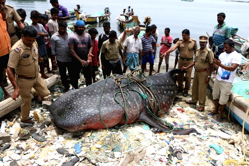 A whale shark that was found washed ashore at the Kasimedu fishing harbour, in Chennai on July 27, 2019.
