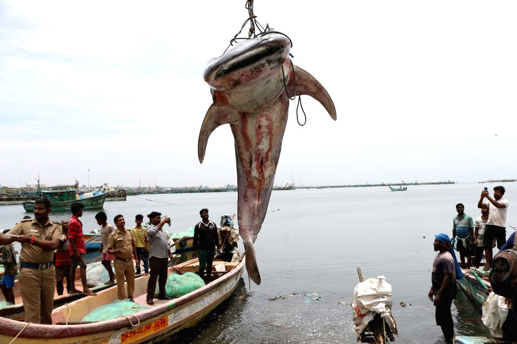 A whale shark that was found washed ashore at the Kasimedu fishing harbour, being fished out  in Chennai on July 27, 2019.