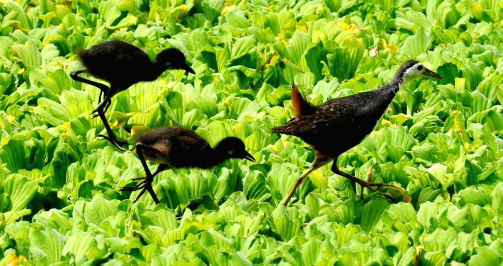 A white-breasted waterhen walks across a pond with its chicks, in search of food, in Guwahati on July 23, 2018.