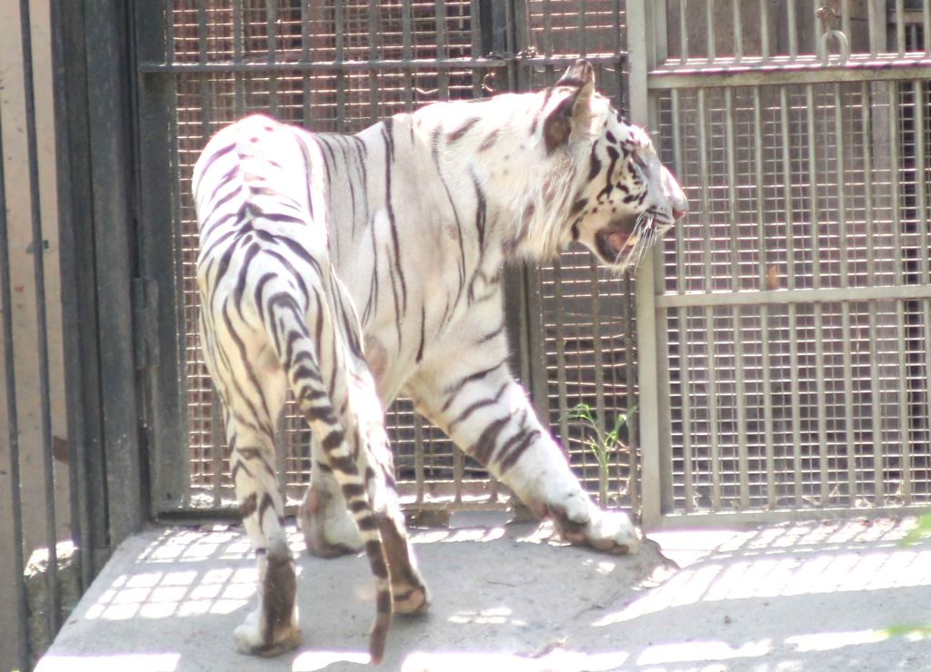 A White Tiger seen inside its enclosure at the National Zoological Park in New Delhi, on June 1, 2019.
