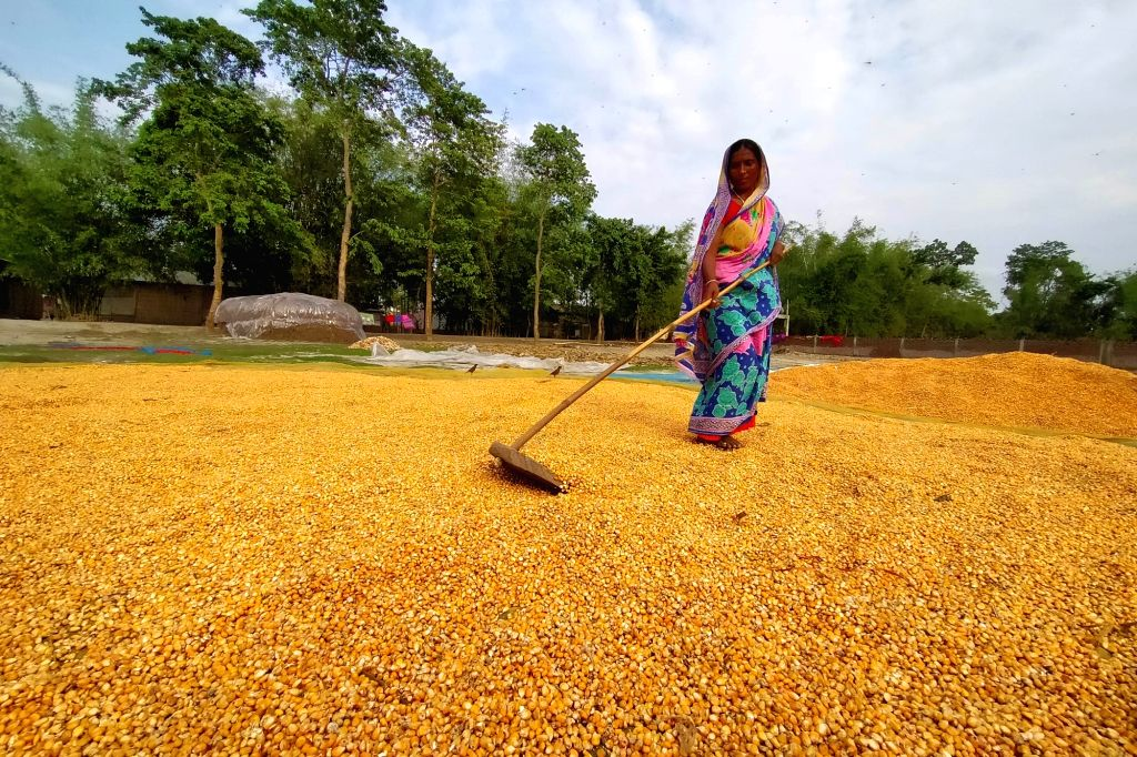 A woman evenly spreads maize husk as she leaves them to try at a field in Assam's Kamrup district during the extended nationwide lockdown imposed to mitigate the spread of coronavirus; on Apr ...