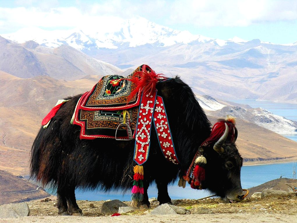 A yak at Yundrok Yumtso Lake on the Tibetan plateau (Image By : Dennis Jarvis)