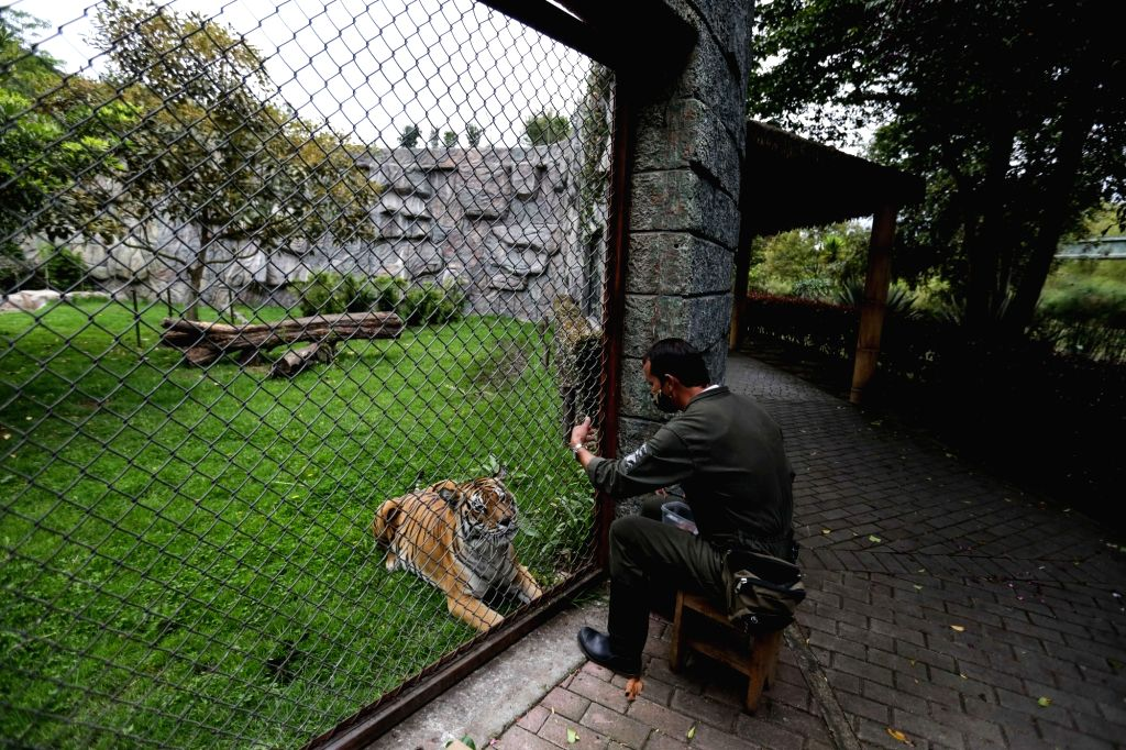A zookeeper feeds a tiger at the Jaime Duque Park in Tocancipa, Cundinamarca Department, Colombia, Aug. 12, 2020. Affected by the COVID-19 outbreak, the zoo has ...