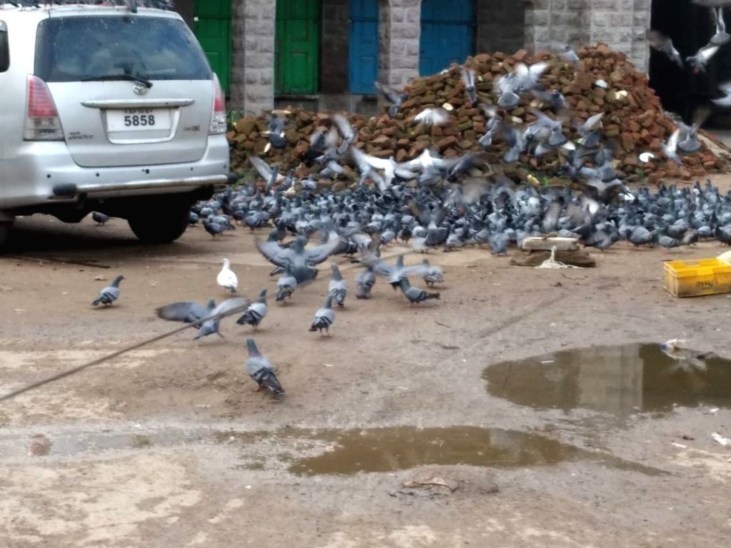 About 500 pigeons were caught using nets at Mozamjahi Market which was defaced by bird droppings, and translocated in the Srisailam forests as part of a beautification drive launched by ...