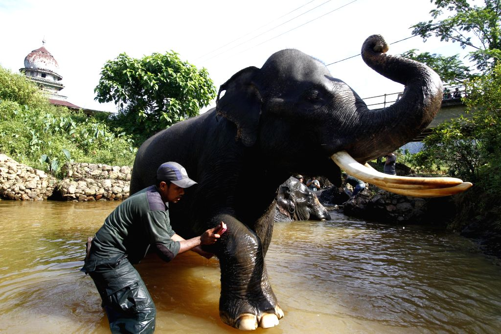 ACEH, April 17, 2016 - A Sumatran elephant (Elephas Maximus Sumatranus) is bathed by a Conservation Response Unit (CRU) trainer at Trumon Wildlife Corridor in Rawa Singkil, Aceh, Indonesia, on April ...