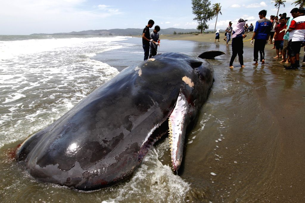 ACEH, Aug. 4, 2016 - Photo taken on Aug. 4, 2016 shows a whale carcass on Alue Naga Beach, Banda Aceh, Indonesia. According to media reports, several fishermen found the already-dead whale in the ...