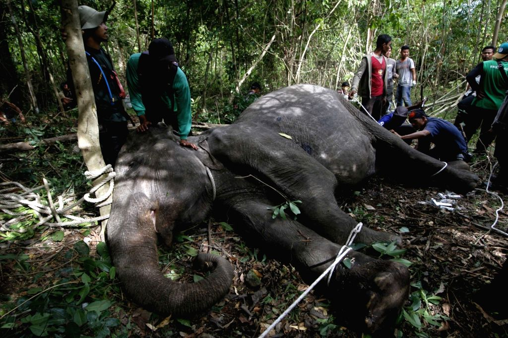 ACEH (INDONESIA), Aug. 16, 2017 Workers from Aceh Natural Resources Conservation Agency (BKSDA) try to examine a Sumatran elephant after it has been shot by hunters in Aceh, Indonesia on ...