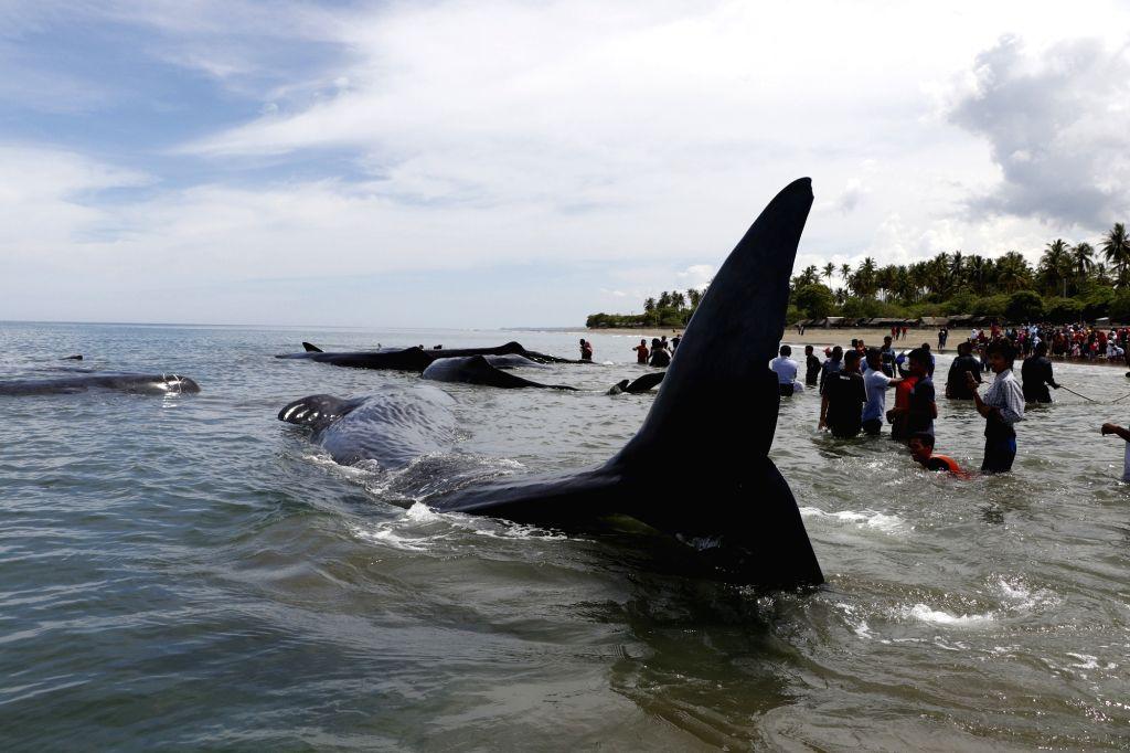 ACEH, Nov. 13, 2017 (Xinhua) -- Photo taken on Nov. 13, 2017 shows sperm whales stranded at Ujong Kareung beach in Aceh, Indonesia. (Xinhua/Junaidi/IANS)