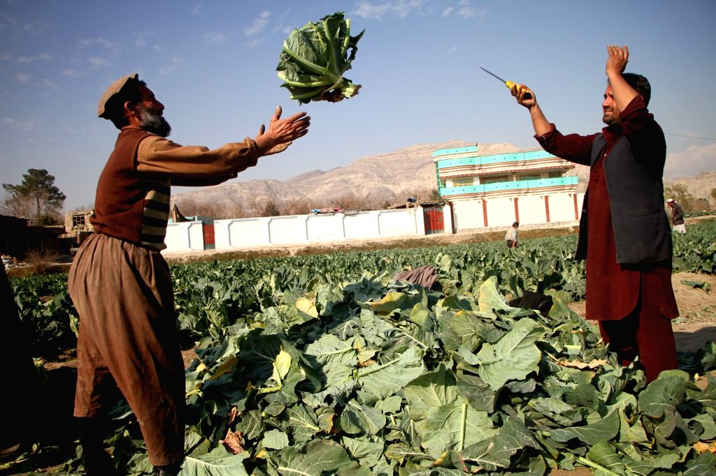 Afghan farmers work in the field in Behsoud district of Nangarhar province, Afghanistan, on Jan. 25, 2020. Afghanistan's economy grew by 2.9 percent in 2019 and ...