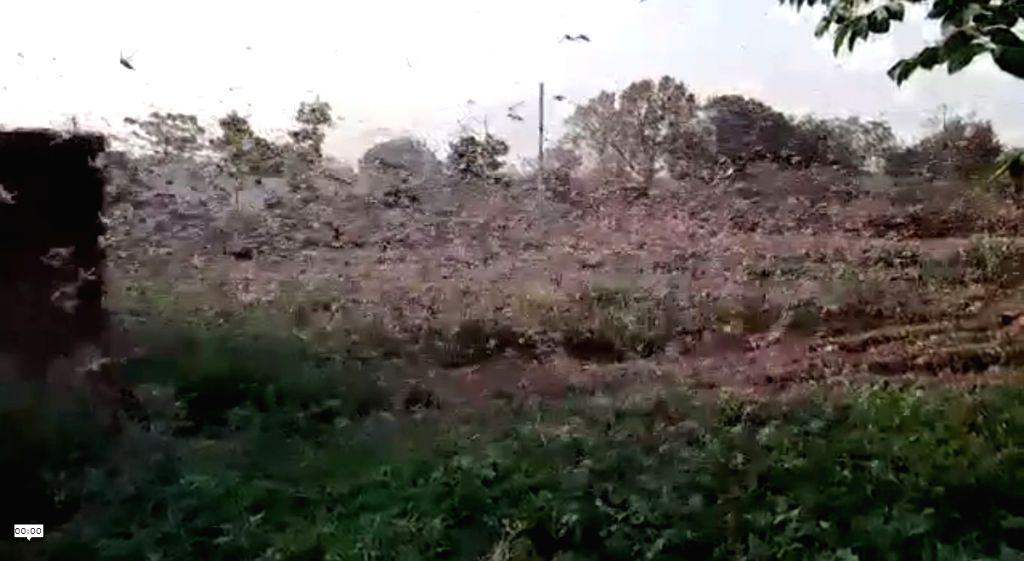 After destroying crops in Rajasthan, a large swarm of locusts has now reached Uttar Pradesh's Jhansi district.