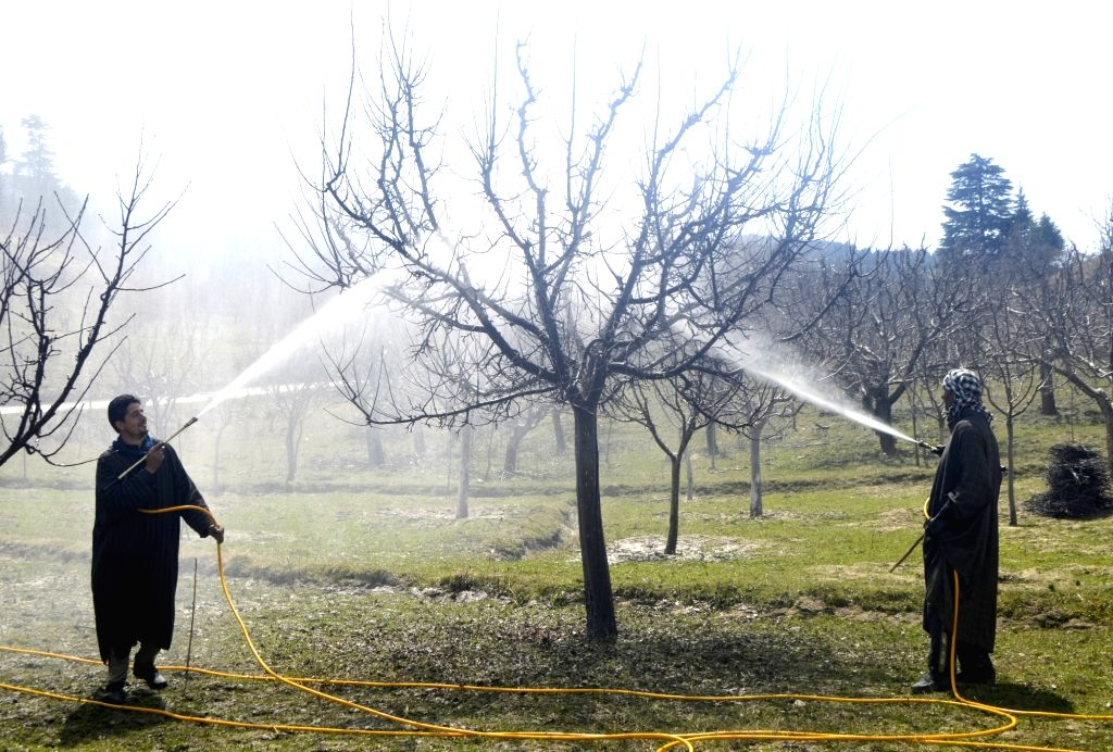 After the revocation of Article 370 apple growers in Kashmir were finding themselves in a lurch due to a communication blockade and shutdown, government came to the rescue by announcing a scheme to directly buy the fruit from the farmers through a no