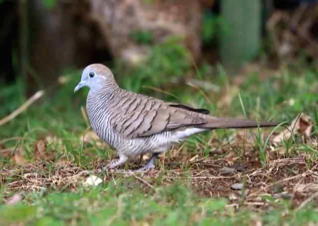 Alien birds threaten Himalayan biodiversity: Researchers
