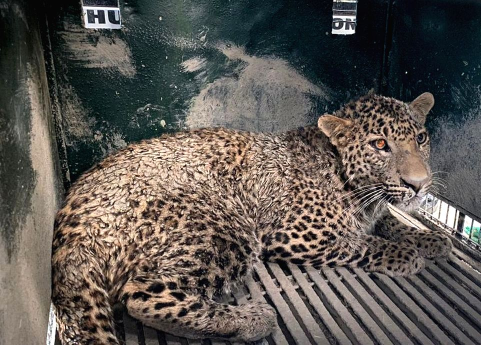 Amid the lockdown, the Uttar Pradesh Forest Department and Wildlife SOS have rescued a leopard from a culvert in the holy town of Mathura after a 10-hour operation. (File Photo)