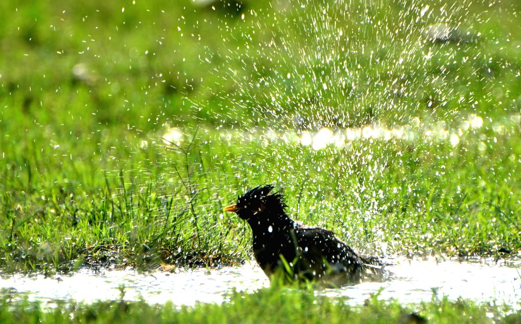 A bird beats the heat in a puddle of water in Amritsar on May 7, 2015.