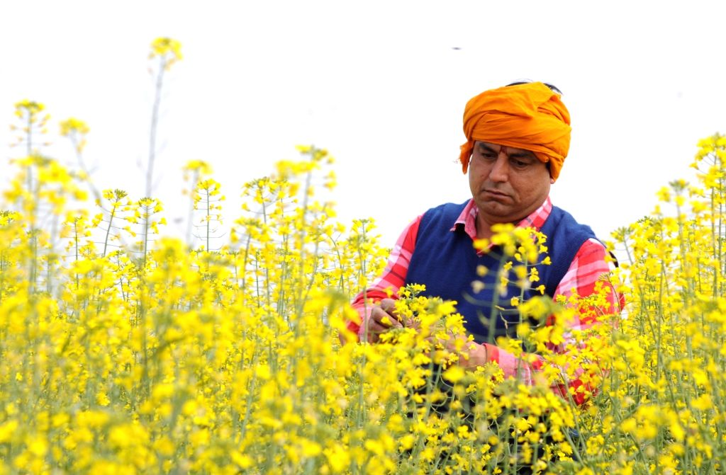 Amritsar: A Villager checks mustard flowers on his filed on the outskirts of Amritsar, on Wednesday 03rd March, 2021.