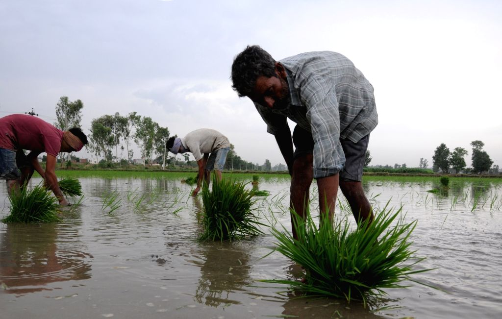 Amritsar: Farmers busy transplanting paddy saplings in a field on the outskirts of Amritsar on June 23, 2018. The total area sown under kharif crop as on June 22 stood at 115.9 lakh hectares as against 128.35 lakh hectares at this time last year. Acc