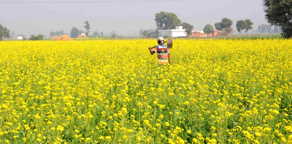 Mustard fields bloom in Punjab; on Nov 26, 2014.