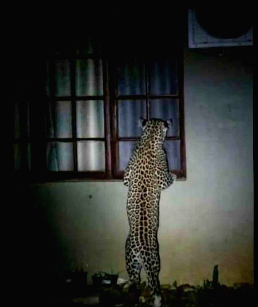 Amroha (Uttar Pradesh), June 17 (IANS) A woman was attacked and killed by a leopard in Sultanpur area in a series of human-animal conflict amid the lockdown, which is now being slowly eased.