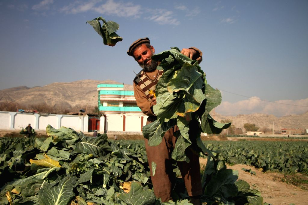 An Afghan farmer works in the field in Behsoud district of Nangarhar province, Afghanistan, on Jan. 25, 2020. Afghanistan's economy grew by 2.9 percent in 2019 ...