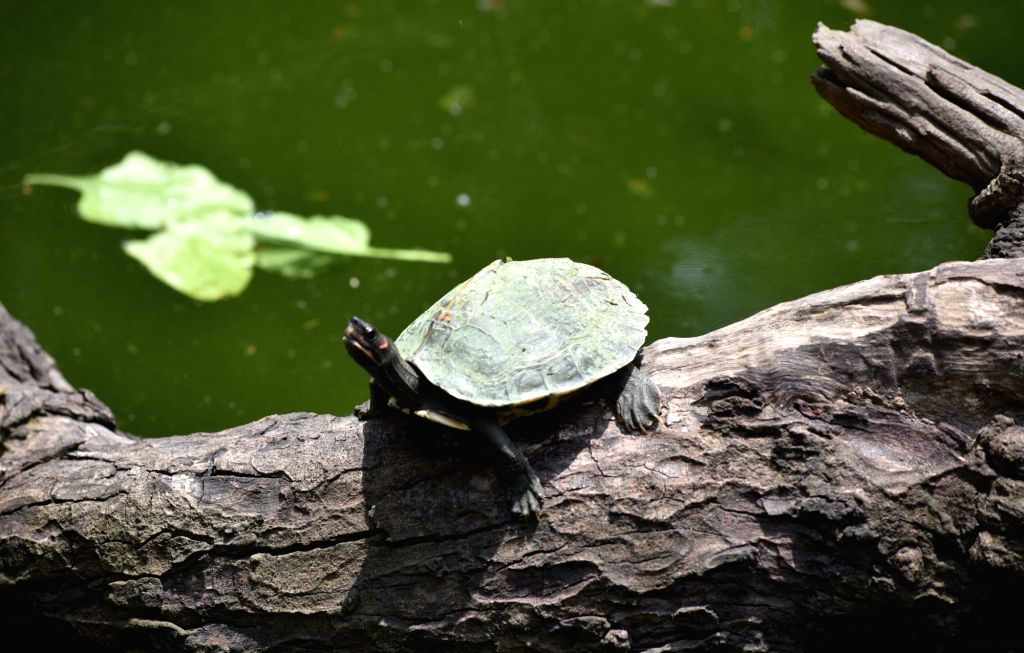 An Assam roofed turtle rests on a wooden log while basking in the sun, in Guwahati on May 23, 2018. May 23 is celebrated as World Turtle Day.