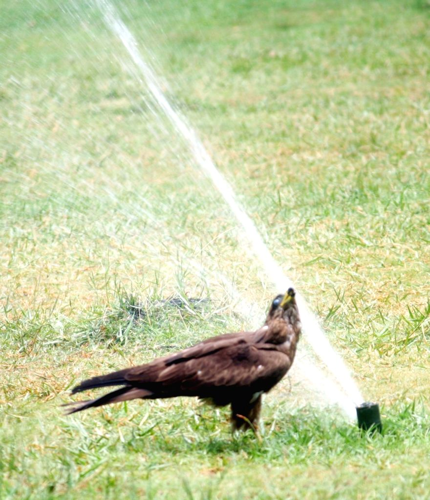 An eagle quenches its thirst by drinking water from a water sprinkler at a garden on a hot sunny day, in Hyderabad on April 25, 2019.