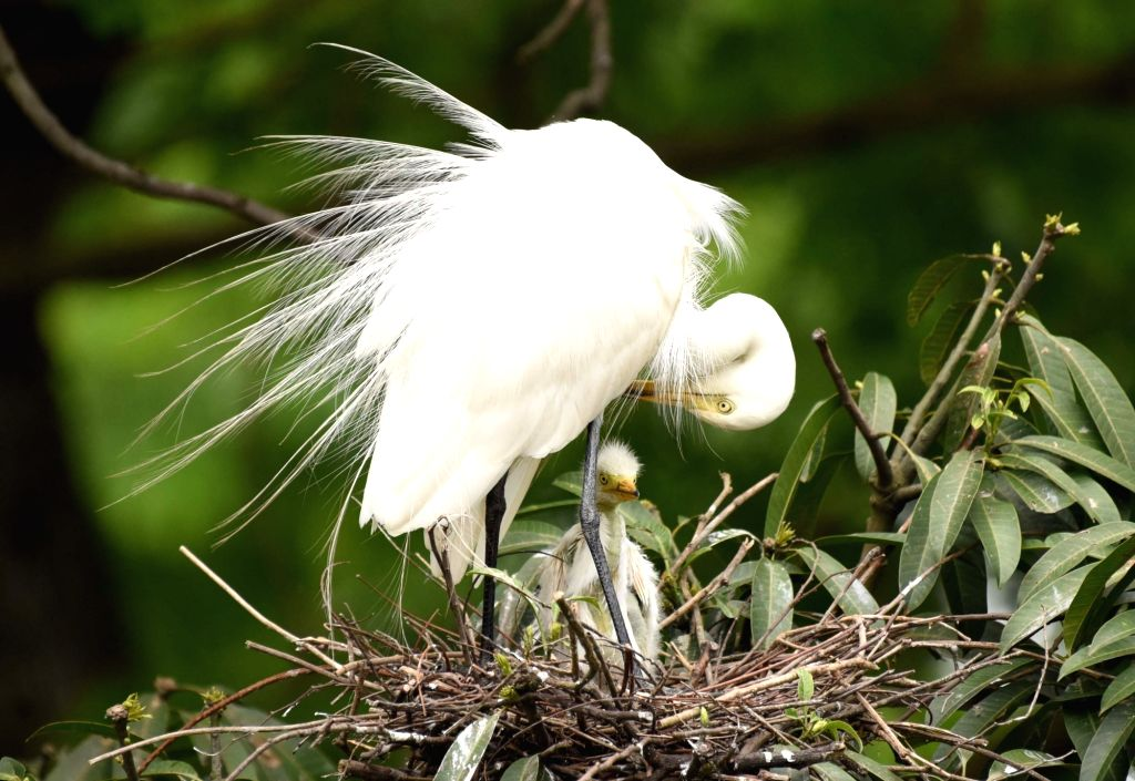 An egret with its younger one perched on a tree on the banks of Brahmaputra river in Guwahati, on June 5, 2017.